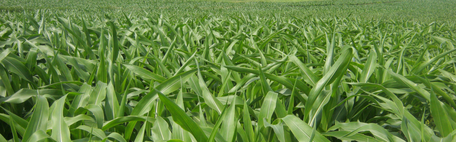 Photo of a green corn
